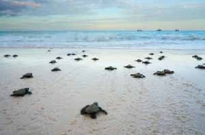 Mövenpick Resort & Spa Boracay sees hatching of Olive Ridley Turtles for 2020