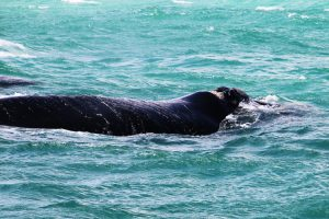 Whale Watching in Hermanus – Stingy Nomads